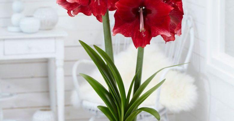آماریلیس با گلهای برجسته قیفی یا شیپوری شکل