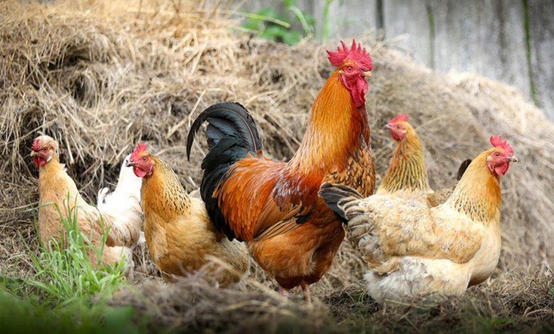 پرورش مرغ محلی در روستاها