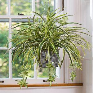 نور مناسب برای گیاه عنکبوتی در آپارتمان