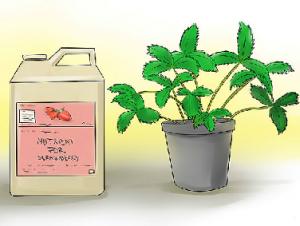 کاشت توت فرنگی به روش هیدروپونیک