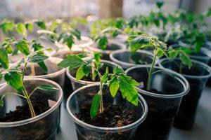 کاشت و پرورش گوجه فرنگی در خانه