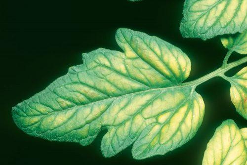 نقش منیزیم در گیاه و علائم کمبود آن
