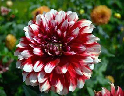 نحوه کاشت و نگهداری گل کوکب