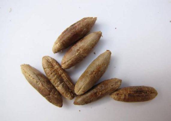درآمدزایی ۳ برابری هسته خرما به شرط فرآوری