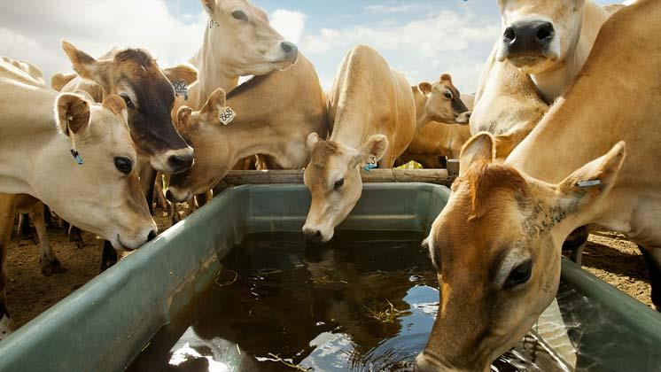 مصرف آب کافی برای دام