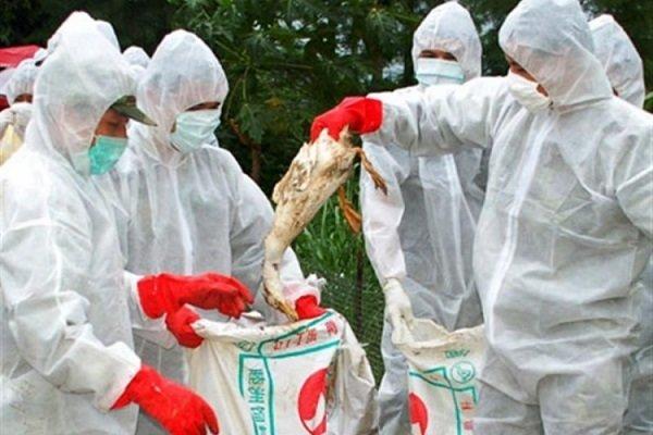 هشدار دامپزشکی به مرغداران برای رعایت بهداشت دارویی و غذایی طیور