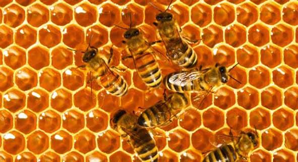 زمان برداشت عسل و سایر فرآورده های زنبور عسل