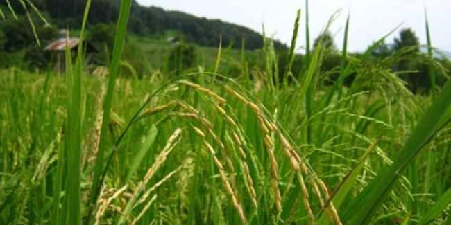 اجرای طرح مصرف ریزمغذی در ۱۰۰ هزار هکتار مزارع برنج مازندران