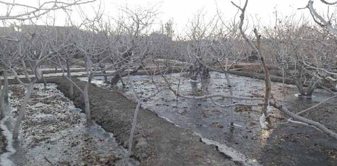 استفاده از یخآب زمستانه در جهت نابودی شفیره آفت در خاک