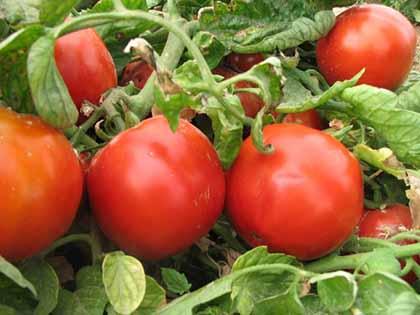 انجام مبارزه بیولوژیک در۲۳۰۰ هکتار از مزارع گوجه فرنگی و ذرت آذربایجان غربی
