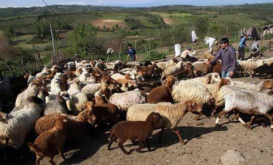 تولید گوشت عشایر از 165 هزارتن به 200 هزار تن رسید