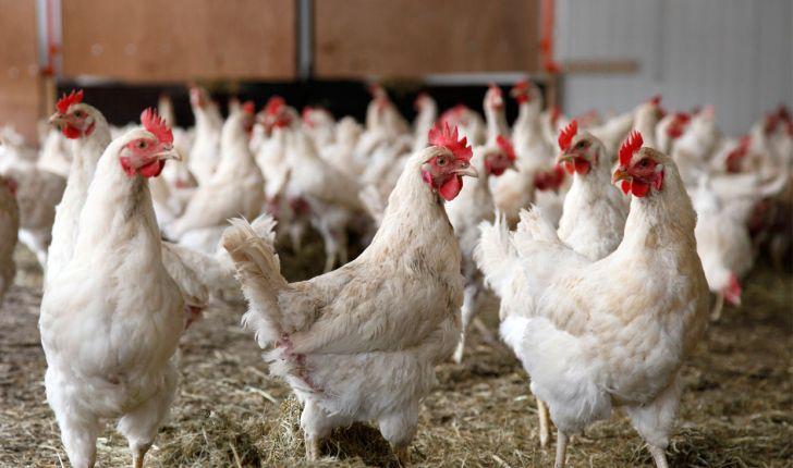 عملکرد خیرهکنندۀ مرغ «آرین» در روزهای اول؛ ۸درصد بیشتر از نمونههای خارجی