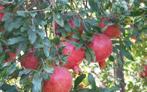 محصول انار استان یزد با مزیت صادرات