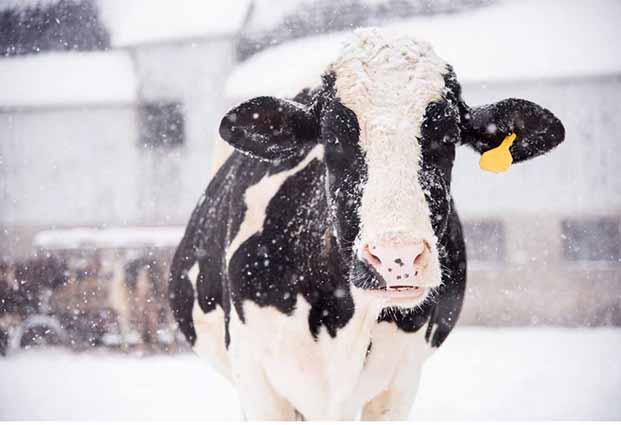 نکاتی مهم درباره محافظت از دام ها در فصل زمستان