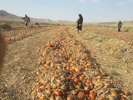 پیاز، اشک کشاورزان دزفول را درآورد