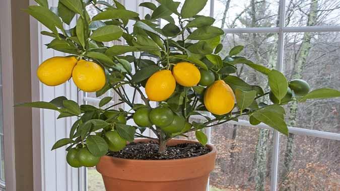 کاشت و پرورش درخت لیموترش در گلدان