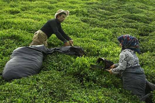 آغاز چین پاییزه برگ سبز از باغات شمال کشور