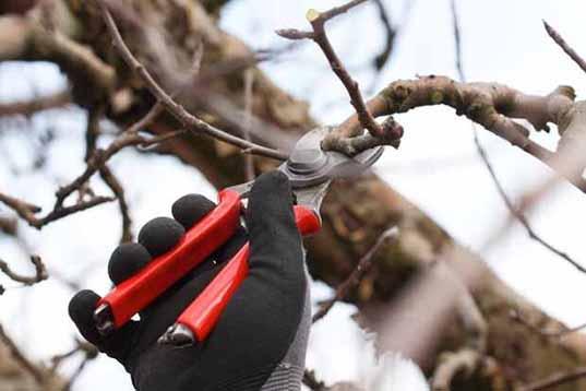 بررسی نکات طلایی سربرداری شاخه های درختان میوه