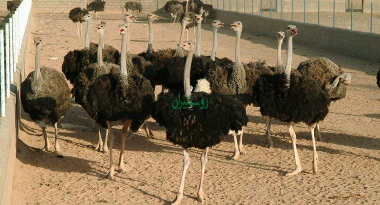 فرادام زرین خاورمیانه
