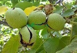 فروش انواع نهال میوه
