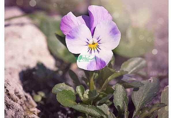 بذر گلهای زیبا و کمیاب گلس گاردن