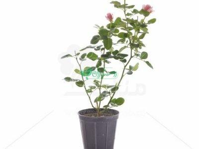 گیاهان فضای باز منتخب