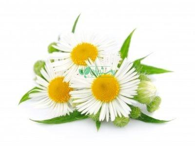 بذر گیاهان دارویی منتخب