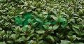 تولید شرکت گیاهان دارویی زرین گیاه