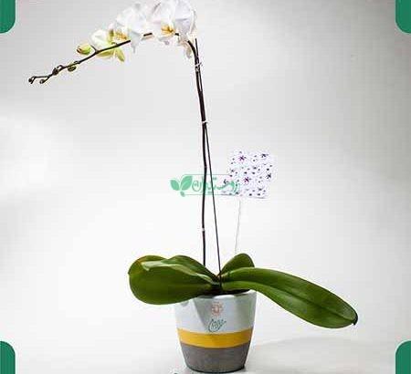 گیاهان آپارتمانی گل ستان