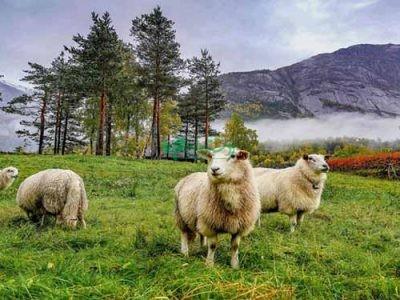 مرکز پخش گوسفند زنده دامداران