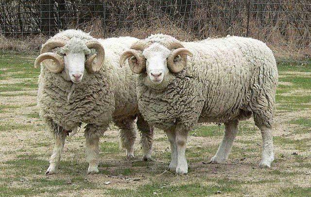تعیین سن گاو و گوسفند از روی دندان ها و شاخ