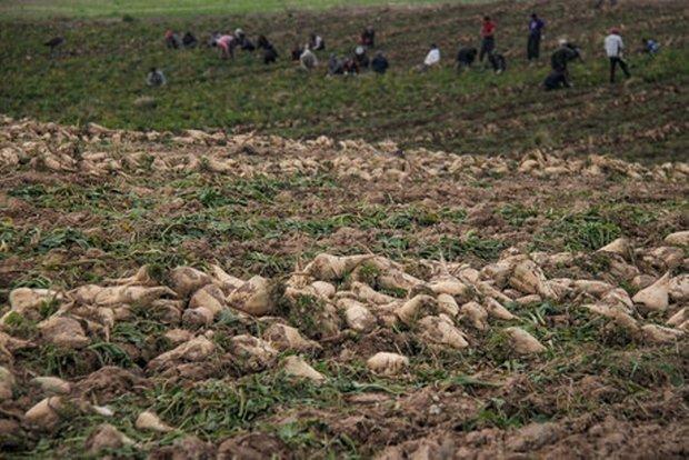 برداشت چغندر قند از اراضی کشاورزی شهرستان البرز آغاز شد