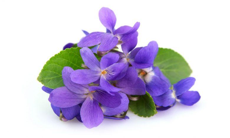 آشنایی با خواص و مضرات گل بنفشه