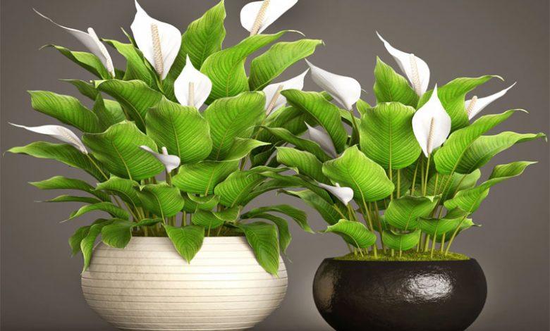 گل اسپاتی فیلوم و نگهداری از آن | روستیران، اولین پایگاه اطلاع رسانی جامع روستاهای ایران