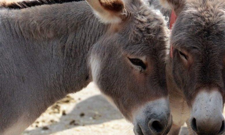 بخشنامه بهداشتی تولید شیر الاغ ابلاغ شد