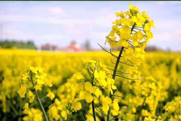 توسعه کشت دانه های روغنی و مبارزه با آفات از جمله اقدامات پدافند غیرعامل در شهرستان ارزوئیه است