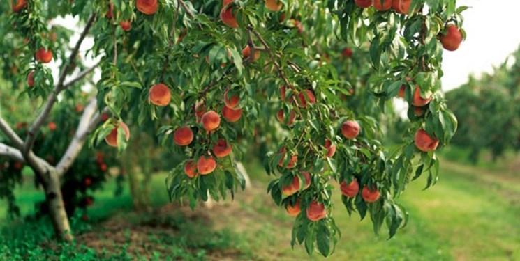 ارقام ونژادها و ژنوتیپهای مختلف درختان میوه به صورت پایلوت در استان اردبیل اجرا می شود