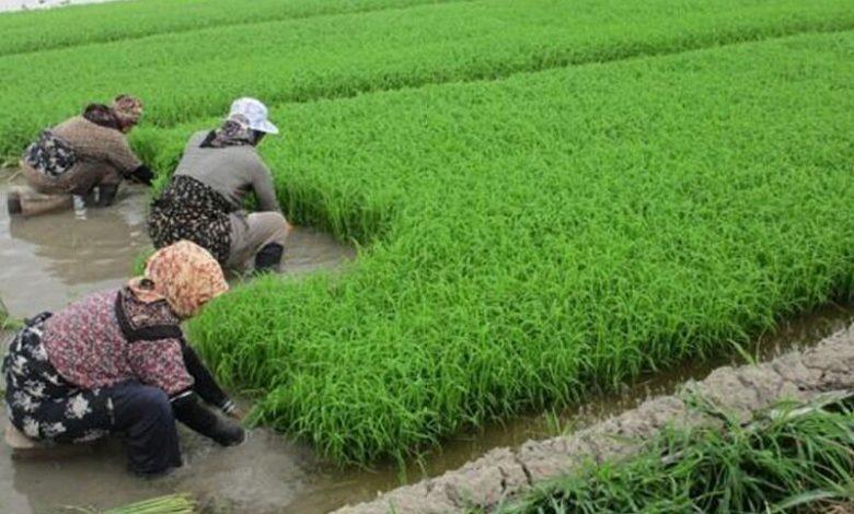 محدودیت کشت برنج و مشکل معیشتی کشاورزان خراسان شمالی