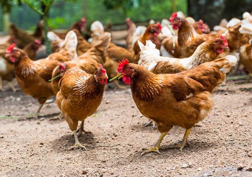 راهکارهای پرورش مرغ محلی در شرایط بد اقتصادی