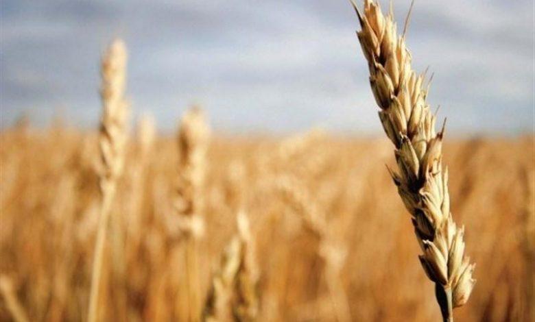 رشد ۳۰ درصدی سطح زیر کشت محصولات گندم و جو در اراضی کشاورزی اصفهان