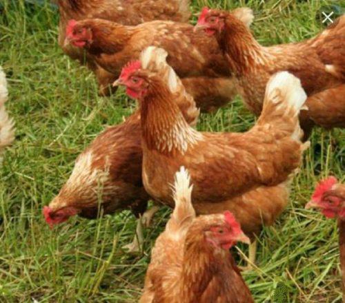 آیا مرغهای شما دستگاه گوارش سالمی دارند؟