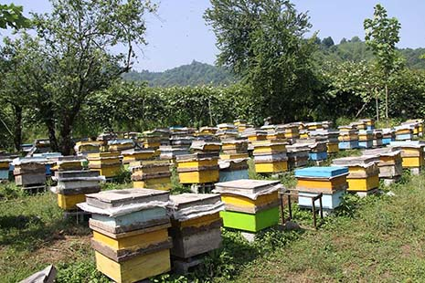 اسقرار کلنیهای زنبور عسل در شهرستان فارسان