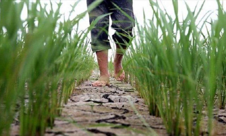گسترش حمایت بیمهای دولت برای شالیکاری و باغداری مازندران