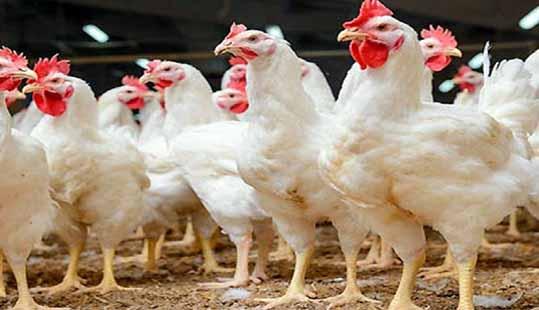 صادرات، داروی شفا بخش صنعت مرغ مازندران