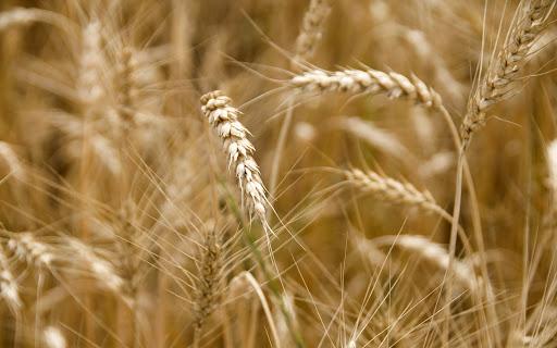 کاهش 2 درصدی ریزش و ضایعات گندم در استان آذربایجان شرقی