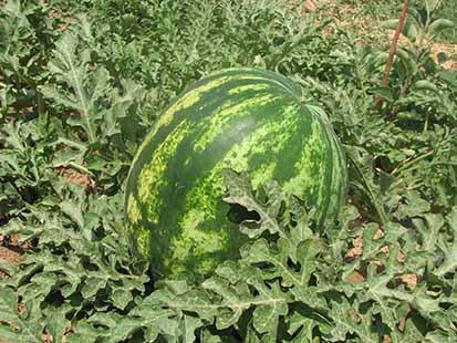 آغاز برداشت هندوانه در اندیکا