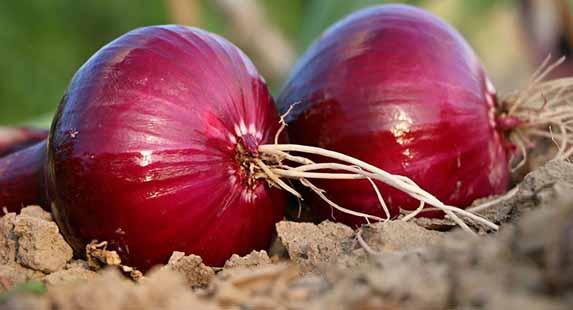 خرید توافقی ۱۵۰ تن پیاز توسط تعاون روستایی استان همدان