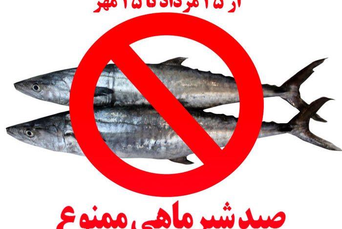 ممنوعیت صید ماهی شیر به روش گوشگیر از 25مرداد