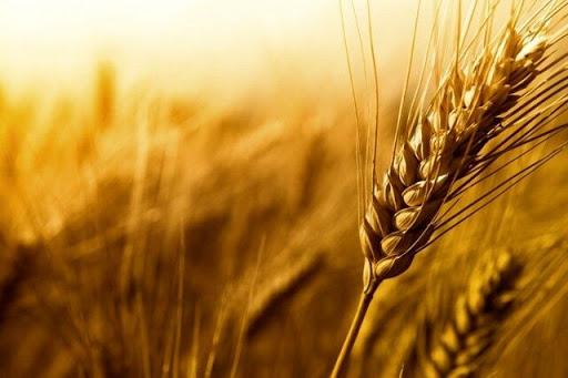 کشاورز میانهای در تولید جو در کشور رکورد زد