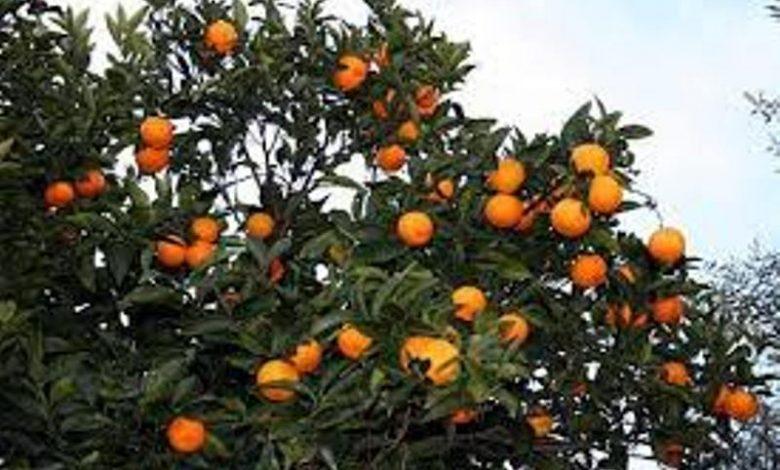 احداث باغات مادر مرکبات و میوههای گرمسیری در سیستان و بلوچستان و جنوب کرمان توسعه موز در مناطق جنوبی با ایجاد سایهبان
